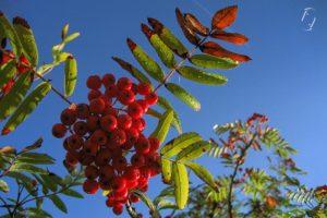 rowan mountain ash rønnebær