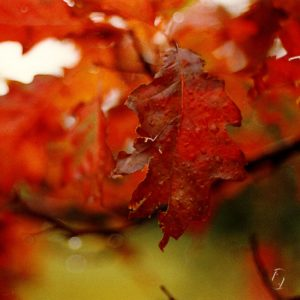 red leaf efterår